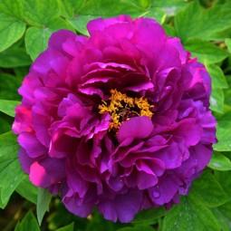 [Доставка с апреля]   Пион древовидный Пурпурная Ночь