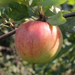 Яблоня Былина (подвой 54-118, полукарликовый)